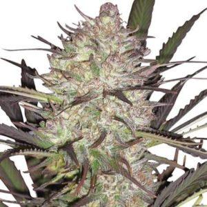Durban Poison Cannabis Plant Picture US