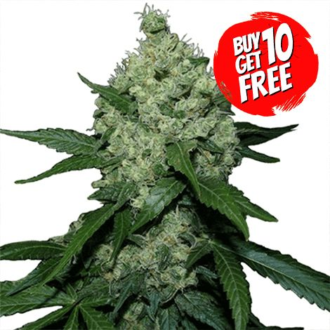 super skunk feminized cannabis seeds USA