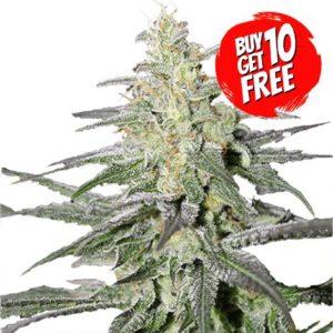 Super silver haze cannabis plant pictures