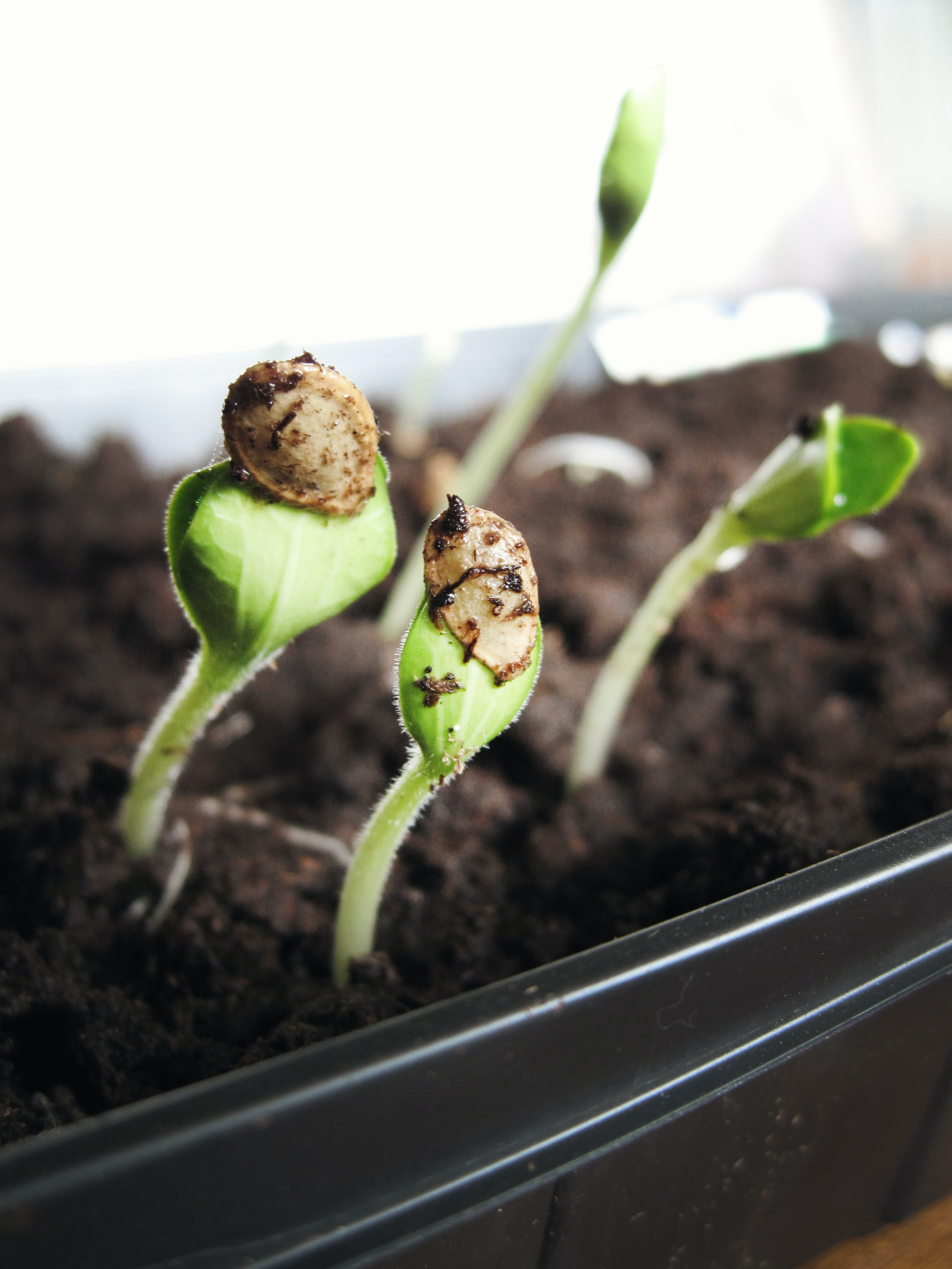 The three different types of cannabis seeds